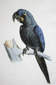 Anodorhynchus_glaucus