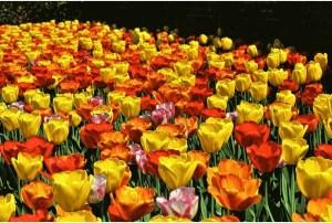 Grow Edible Flowers - Macklins Home and Gardens