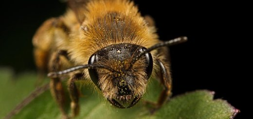 Sleeping Solitary Bee (about 2.5x mag).
