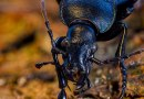 Violet Ground Beetle – Carabus violaceus