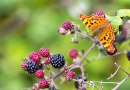 Sawfly and Comma Butterfly video