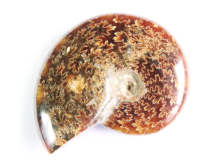 Whole Polished Ammonites with Suture Patterns, 7-9cm