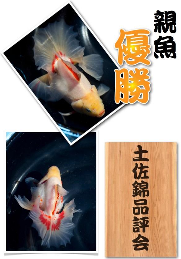 土佐錦品評会