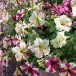 【花便り】ペチュニア