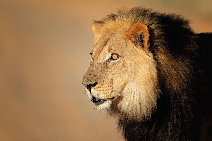 Cute Lockets Wallpaper Lion Spirit Animal