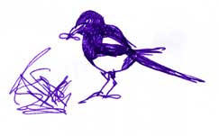 Yellow-billed magpie, pen and ink