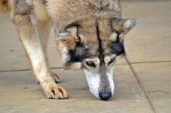 Small Of Northern Inuit Dog