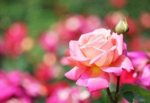 rose-gardening