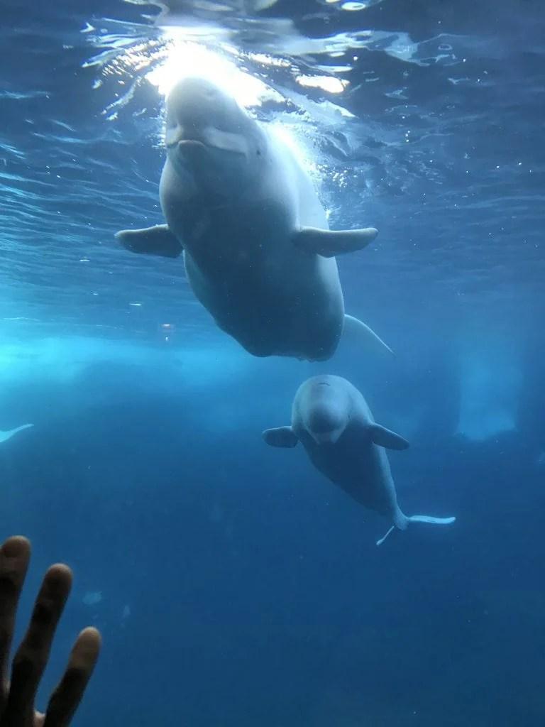 Beluga whale at SeaWorld San Diego