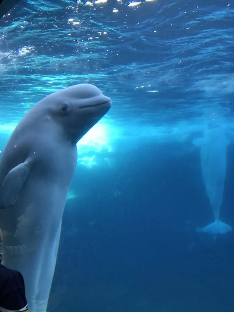Beluga whale exhibit at SeaWrold San Diego
