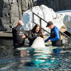 My Incredible Experience with the Beluga Whale Interaction Program at SeaWorld San Diego