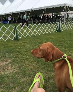 Another day another dog show vizsla NewEnglandSportingGroupAssociation Telic recoversoft americankennelclubhellip