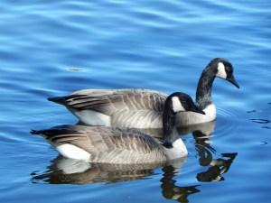 canada-goose-455744_1280