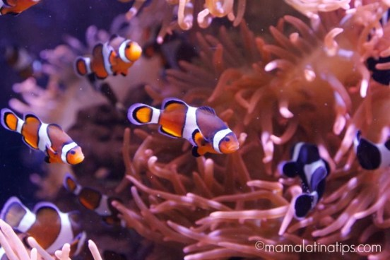Clown fish - mamalatinatips.com