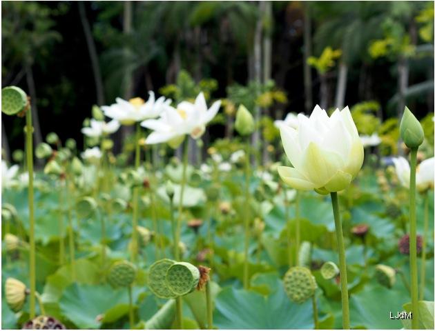 champ_lotus