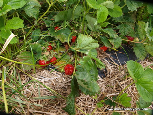 Thies Farm Strawberry Plants June 2014
