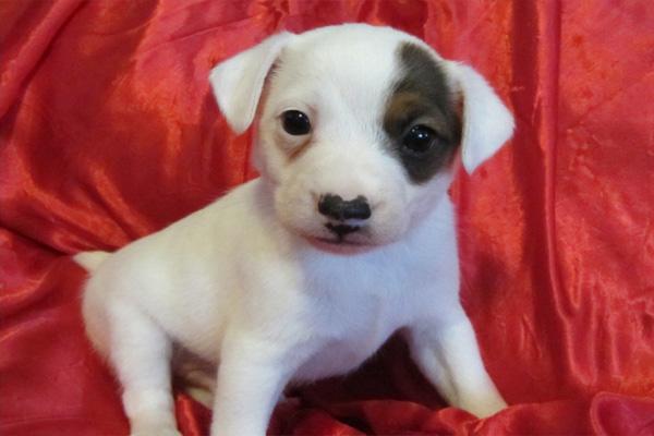 westies westhighland terrier for sale in manhattan