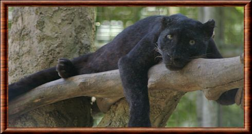 Black Panther Animal Wallpaper L 233 Opard D Indochine Panthera Pardus Delacouri