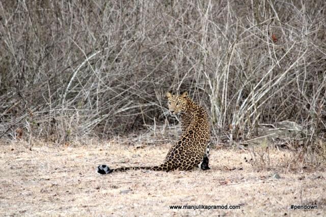 leopard in Kabini, Nagarhole tiger reserve