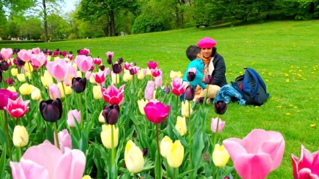 Tulips in Berlin