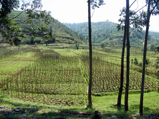 Landscape-Rice fields- Rwanda