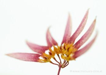 Bulbophyllum sp