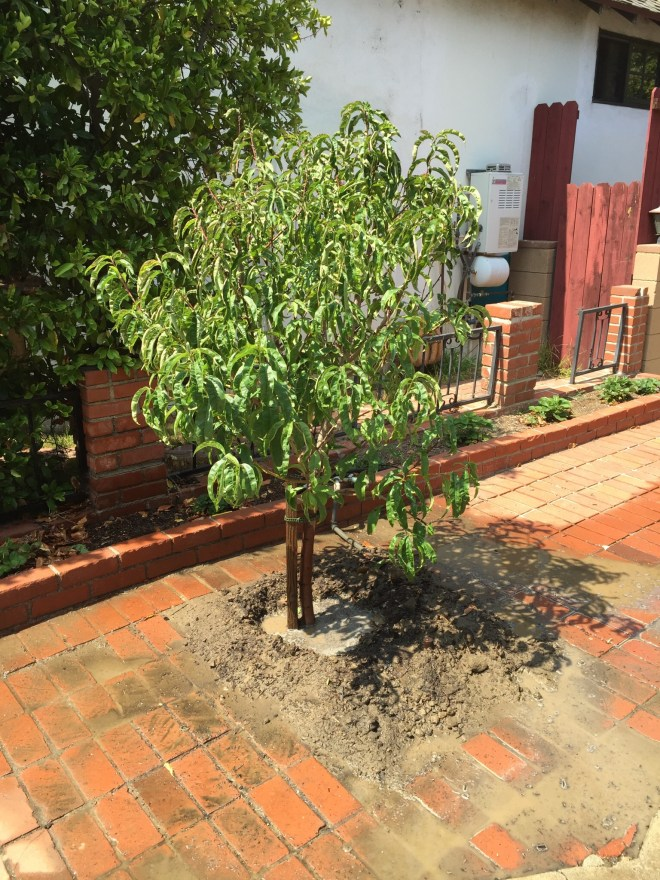 Babcock peach replacing plum tree (just planted)
