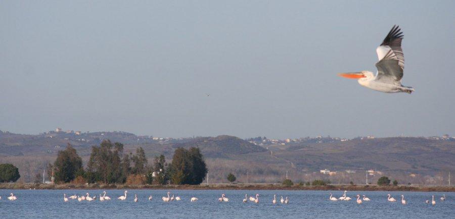 karavaste: Flamingos, Pelikane