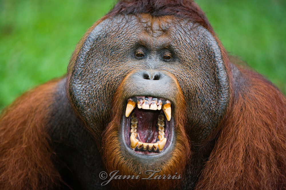 A portrait of a dominant male orangutan (Pongo pygmaeus) yawning and displaying large cheek flanges and teeth,Borneo,Indonesia