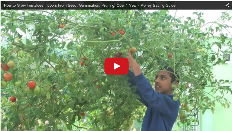 How To Grow Tomatoes Indoors From Seed, Germination, Pruning, Over