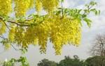 National Flower Of Kerala