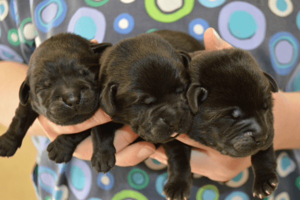 Champion Black Labrador Puppies