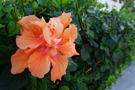 Coral Hibiscus