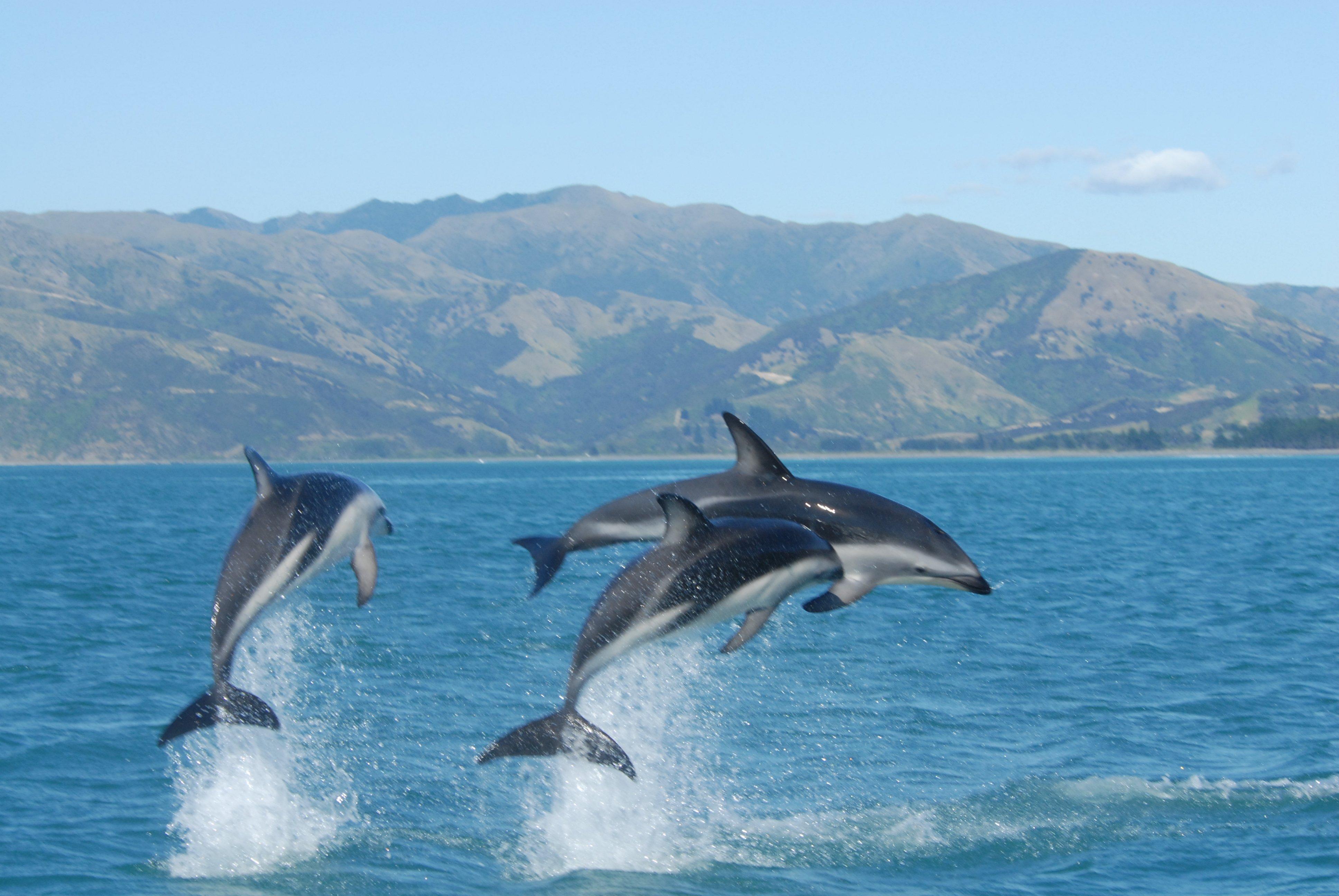 Cute Baby Dolphin Wallpaper Dusky Dolphin Related Keywords Dusky Dolphin Long Tail