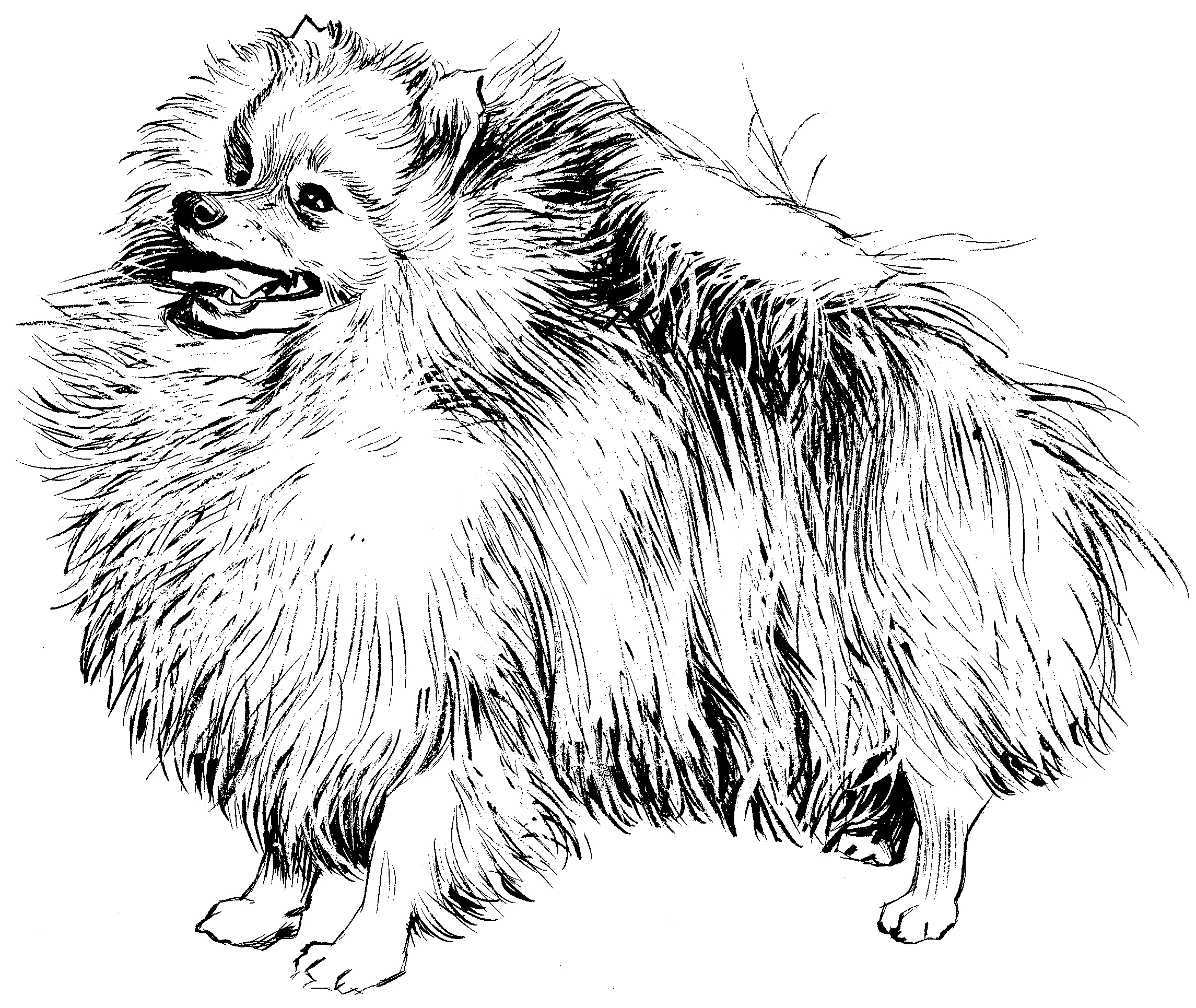 Pomeranian Coloring Pages - Arenda-stroy
