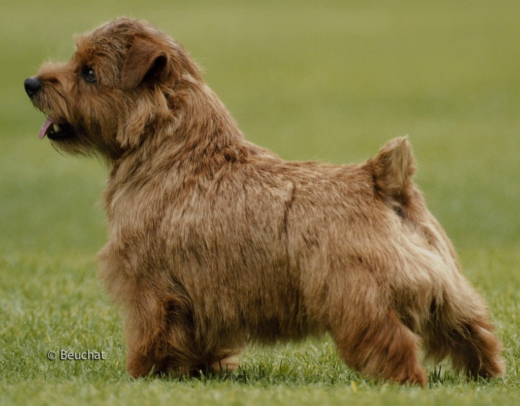 Small Cute Puppy Wallpapers Norfolk Terrier Dogs Breeds Pets