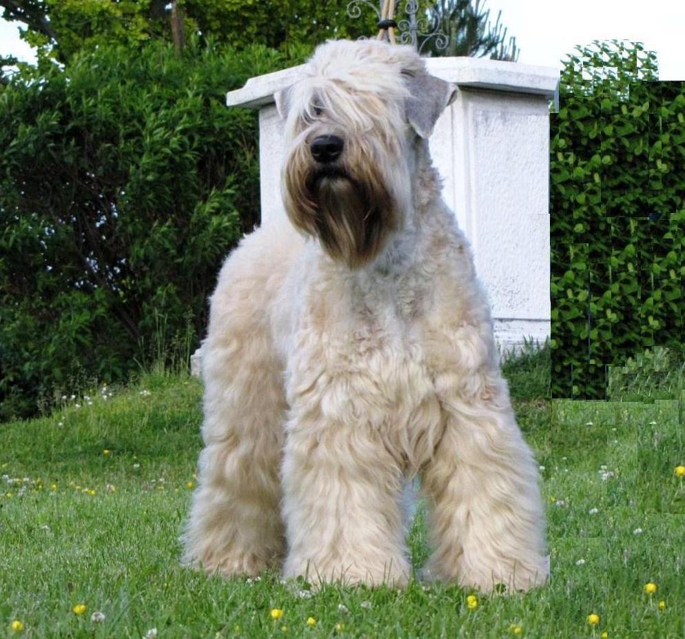 Diverting Irish Soft Coated Wheaten Terrier Irish Soft Coated Wheaten Terrier Dogs Breeds Pets Wheaten Terrier Mix Poodle Wheaten Terrier Mix Dogs bark post Wheaten Terrier Mix