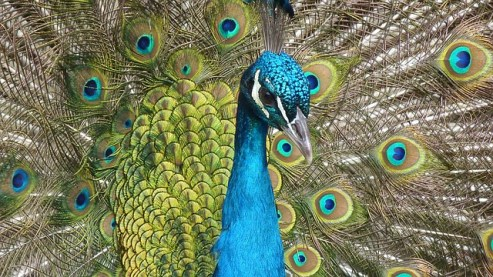 peacock-90051_640
