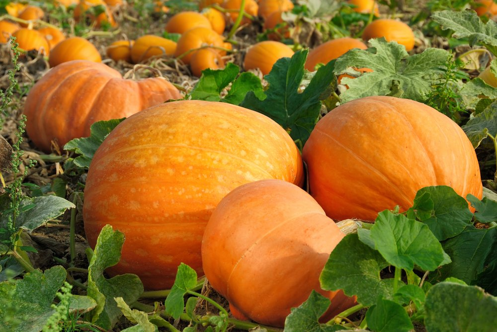 It 39 s pumpkin patch time maui family for Best pumpkins to grow