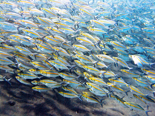 Densely-packed shoal of fish