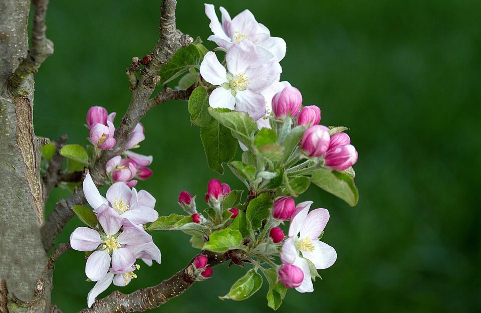 Black And Pink Flower Wallpaper Free Photo Apple Tree Apple Blossom Apple Tree Flowers