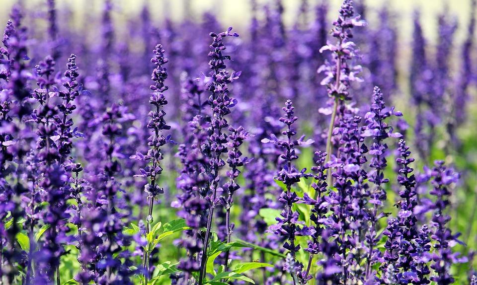 Free photo Blue Flowers Purple Flowers Lavender Nature Flowers - Max