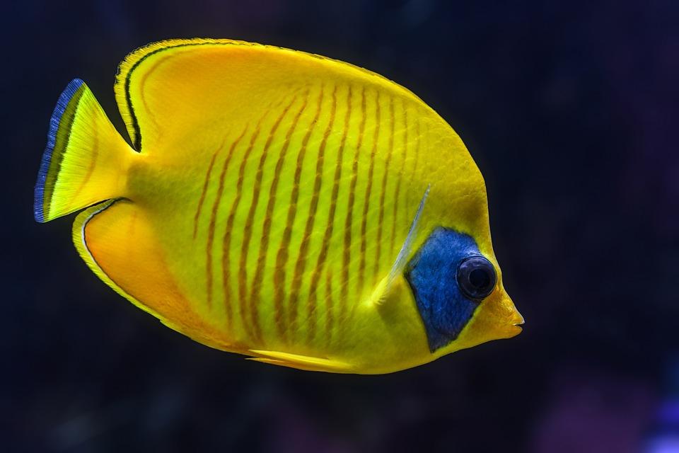 Black And White Rose Wallpaper Free Photo Colorful Aquarium Fish Yellow Tropical Animal