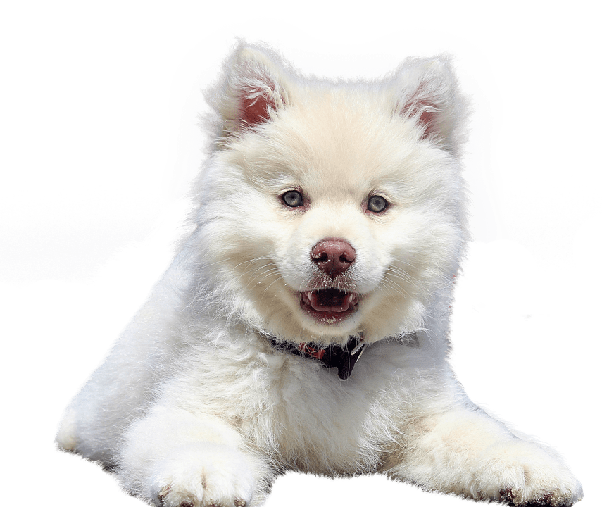 A Cute Puppy Wallpaper Free Photo Dog Isolated Purebred Dog White Dear Pet Animal