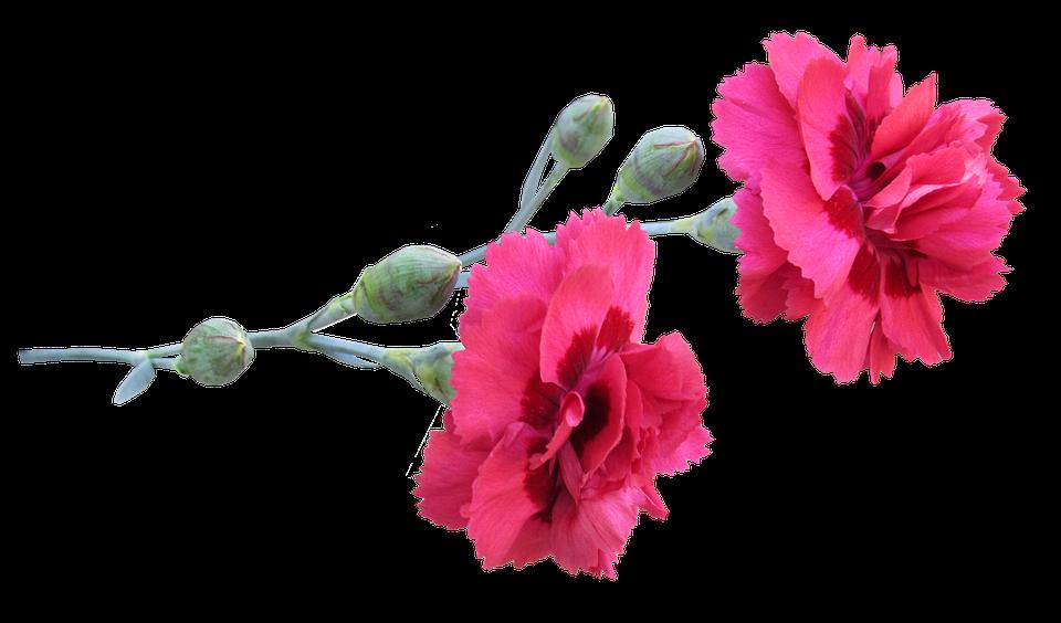Free 3d Flower Wallpaper Free Photo Flowers Carnation Stem Max Pixel