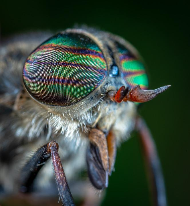 Free photo Horsefly Portrait Insect Eyes Macro - Max Pixel