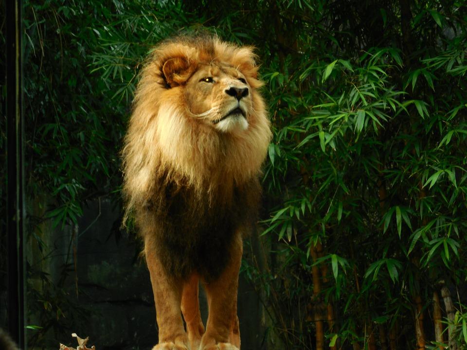 Animal Desktop Wallpaper Free Photo Lion King Predator Animal Wildlife Lion Nature