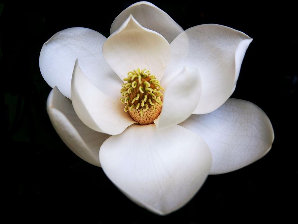 Black And White Rose Wallpaper Free Photo Perfect Flower Northcarolina Magnolia Max Pixel