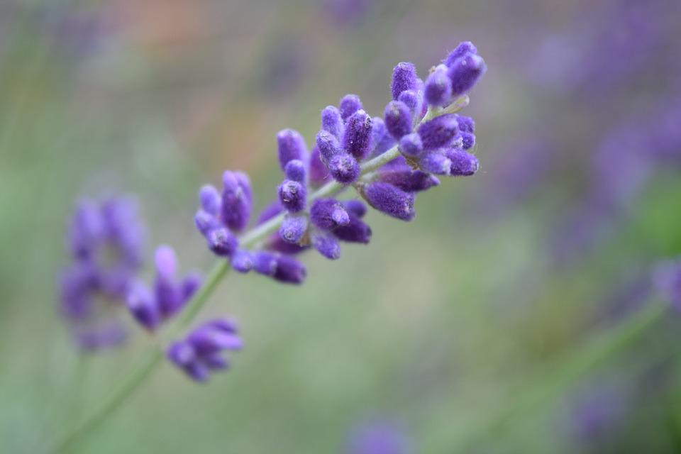 Free photo Purple Flower Flower Purple Purple Flowers Lavender - Max