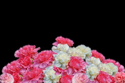 Rose Flower Garden Hd Wallpaper Free Photo Cloves Flowers Carnation Pink Blossom Bloom